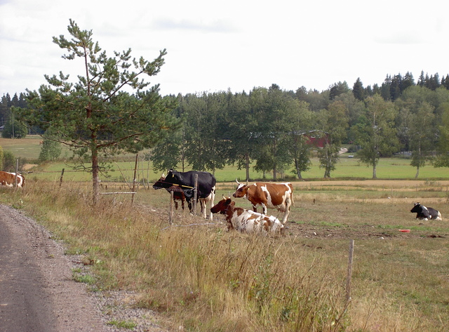 Lyytikkälän lehmiä