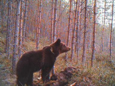 Karhu tutkii maisemia.