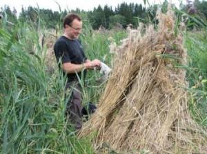 Alueen suuressa ruovkossa oli tehty korjuutöitä edellisenä kesänä ja nipuista oli rakennettu kuhilaita ruovikkoon. Saimme huomata että meressä kasvava ruoko poikkeaa jonkin verran Telkjärven lajitoverista